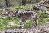 image of coy  - A lone Coyote in a rocky environment - JPG