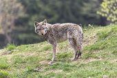 pic of coy  - A lone coyote in a summer scene - JPG