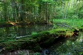 image of decomposition  - Summer landscape of old forest and broken moss wrapped tree lying in water - JPG