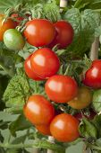 picture of tomato plant  - Fresh ripe cherry tomatoes on a plant - JPG