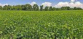 picture of soybeans  - Mature soybeans in a field over blue skies - JPG