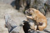 picture of prairie  - Two small and cute prairie dogs hugging and pointing into the distance - JPG