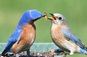 picture of bluebird  - Male Eastern Bluebird  - JPG