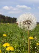 stock photo of dandelion  - small spider and dandelion meadow in May flowering yellow dandelions full as the background - JPG