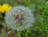 stock photo of weed  - Deandelion weed seed in full bloom - JPG