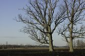 stock photo of ashes  - Two oak trees stand in a burned marsh - JPG