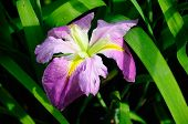 image of purple iris  - A purple iris blooming in a water garden at Houtan Park in Shanghai China - JPG