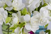 foto of gardenia  - Bouquet of fresh White Gardenias placed in small red green and blue mason jars on white or black background as a decoration for a table - JPG
