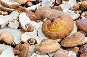 pic of mushroom  - Lingzhi mushrooms Ganoderma Lucidumthe product of mushroom farm from Thailand - JPG