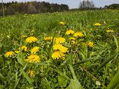 stock photo of may-flower  - meadow in May full flowering yellow dandelions as a background - JPG