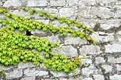 foto of ivy  - beautiful green ivy on ancient castle stone wall - JPG