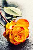 stock photo of yellow rose  - Rose - JPG