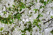 stock photo of apple blossom  - Twig with apple blossom in natural light - JPG