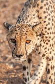 image of cheetah  - An up close view of a prowling cheetah in a brown dusty landscape - JPG