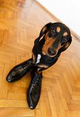 picture of dachshund dog  - Elegant and funny dachshund dog in leather men shoes on parquetry - JPG