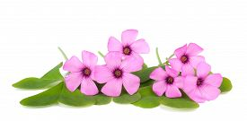 picture of sorrel  - Wood sorrel flowers with leaves isolated on white background - JPG