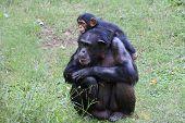 pic of chimp  - Young Chimp Hangs on Adult Chimp - JPG