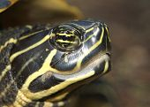 image of cooter  - (close head shot of turtle) thank you for looking - JPG