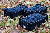 Baskets Of Blue Grapes Recently Harvested. Blue Grapes Background Of Freshly Picked Grapes, Wine Gra poster