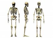 image of skeleton  - 3 views of a male skeleton isolated on a white background - JPG