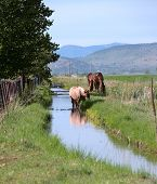 picture of klamath  - Three horses along a small creek grazing in southern Oregon near Klamath Falls - JPG