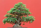 picture of centenarian  - beautiful Ficus tree bonsai over red background - JPG