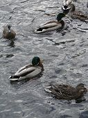 Mallard Ducks In Pond