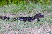 foto of alligator baby  - A baby American alligator in the grass along the shoreline of a Florida swamp - JPG