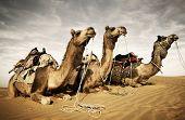 Camels resting in the desert. Thar Desert, Rajasthan, India.  poster