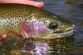 picture of boise  - close up of a rainbow trout caught in the Boise River - JPG