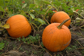 picture of jack-o-laterns-jack-o-latern  - 3 Ripe orange pumpkins in the patch waiting to be turned into jack - JPG