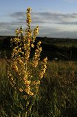Inflorescence Of Wooly Mullein Verbascum Pyramidatum. The Yellow Flowers And Leaves Are Anodyne Anti poster