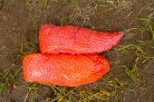 image of steelhead  - Steelhead salmon roe is shown in tact on the river bank after a fisherman guts and cleans a freshly caught winter steelhead in Oregon - JPG