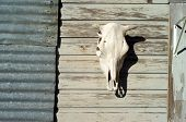 picture of life after death  - cow skull hanging on a farm shed - JPG