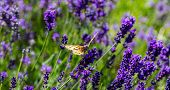Lavender Flowers, Closeup View Of A Butterfly On A Lavender Blossom In Spring poster