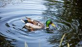 Duck Male, Green Head Swimming In A Park Pond In Rotterdam, Netherlands, Closeup View poster
