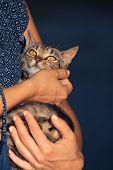 Woman Holding Kitten. Adorable Kitten In Woman Hands. Cute Kitten Watching Up. Kitten. Domestic Cat  poster