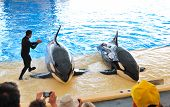Tenerife Island, Spain - May 26: The Orcas Show In Loro Parque On May 26, 2011 In Tenerife, Spain. T