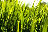 Nature Background With  Fresh Green Grass With Beautiful Bokeh Effect. Close Up Of Fresh Green Grass poster