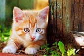 Cute Little Red Kitten Playing Outdoor. Portrait Of Red Kitten In Forest Or Garden Looking Interesti poster