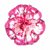 Pink carnation flower isolated on white pic.
