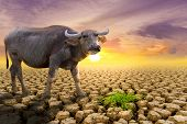 The Concept Of Natural Drought Of The Environment On Earth: Causes Animals (buffalo) Lacking Food, D poster