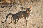 stock photo of wildcat  - African wildcat in the Kgalagadi Transfrontier Park - JPG