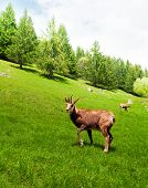 Постер, плакат: Chamois In The Mountain Meadow