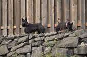 foto of scottie dog  - Garvey  - JPG