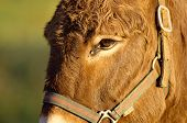 picture of horses ass  - Close portrait of a brown ass and halter under a warm light - JPG
