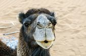 stock photo of dromedaries  - Morocco Hamada du Draa  - JPG