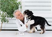 stock photo of infirmary  - Miniature schnauzer has tooth examination in senior veterinarian infirmary - JPG