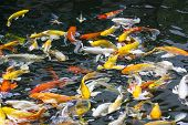 Koi Fish On The Surface of the Pool