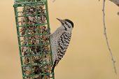 pic of woodpecker  - Female Ladder - JPG
